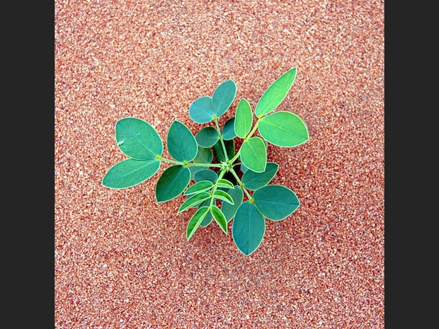 Plante-du-crottin_sable du hoggar